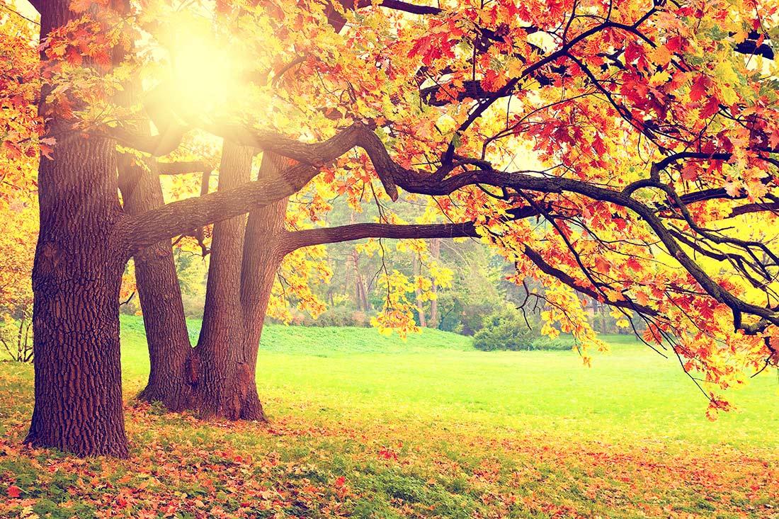 Ayurvedamagazin-Ayurveda-im-Herbst_Herbstbaum-in-Pracht