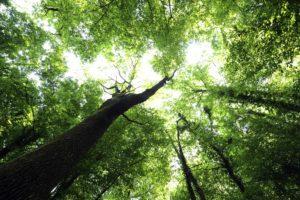 Ayurvedamagazin-Sehnsuchtsort-Natur_Blick-in-die-Baumkronen